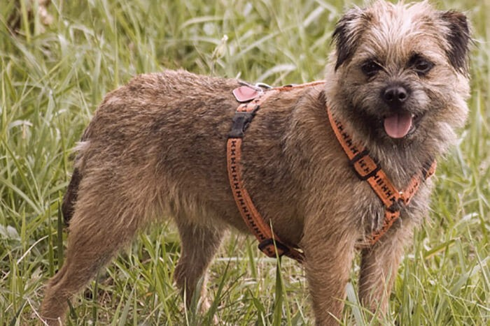 Bộ lông của chóBorder Terrier cần được chăm sóc hàng tuần