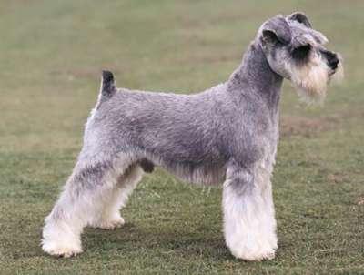 Các giống chó không rụng lông thích hợp nuôi trong nhà