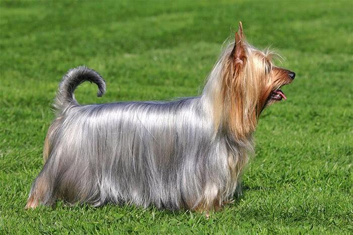 Australian Silky Terrier có bộ lông mượt mà và ít khi rụng