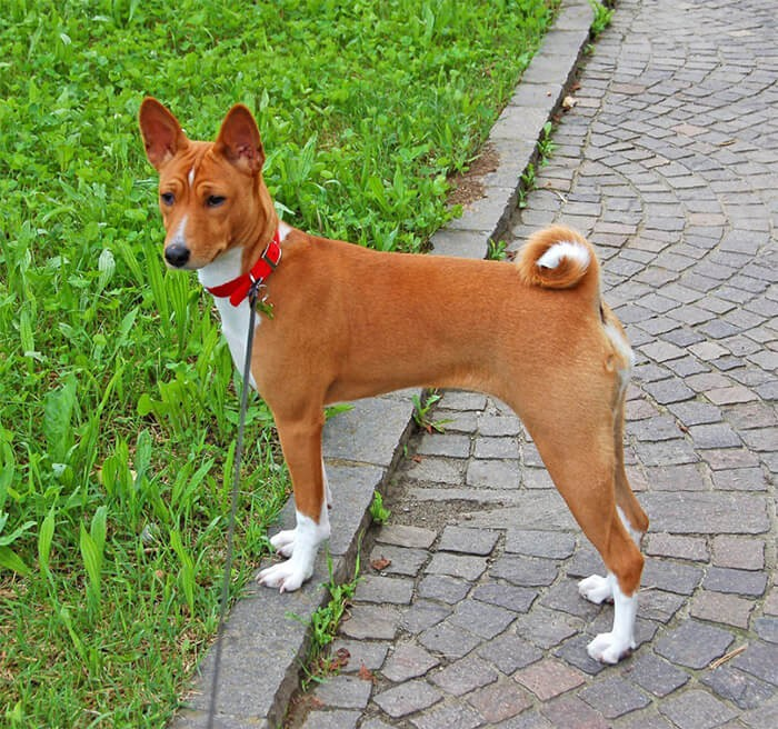 Hình ảnh chú chóBasenji