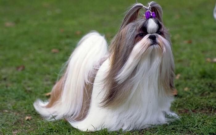 Chó Shih Tzu có bộ lông cực kỳ đẹp