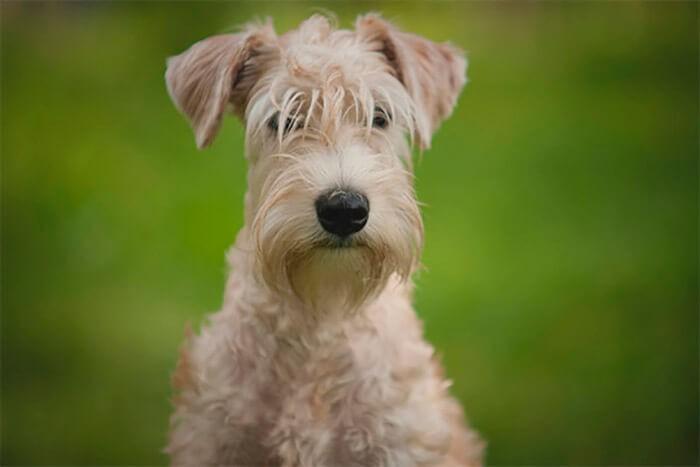 Giống chó Soft-Coated Wheaten không rụng lông