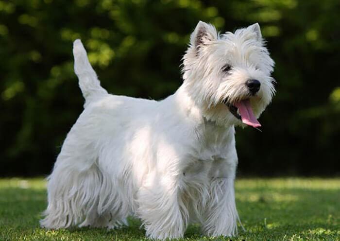 ChóWest Highland White Terrier sẽ rụng lông nhưng không đáng kể