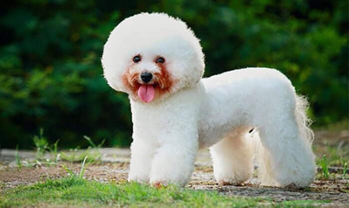 Chó Bichon Frise có bộ lông được cắt tỉa đẹp