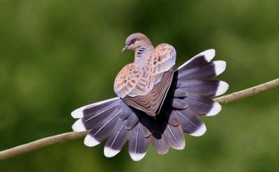 Bật mí cách nuôi chim cu gáy cho người mới chơi chim