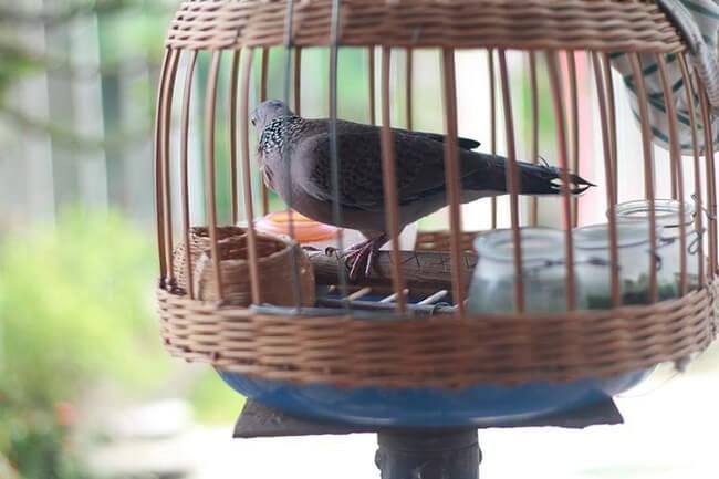 cách nuôi chim cu gáy nhanh nổi