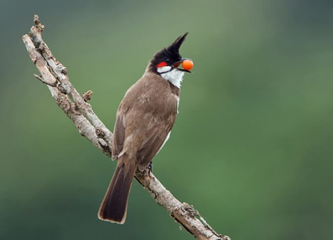 Cho chim ăn trái cây để hót hay hơn
