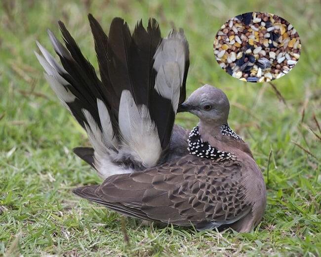 Thức ăn cho chim cu gáy nhanh nổi bao gồm các loại hạt