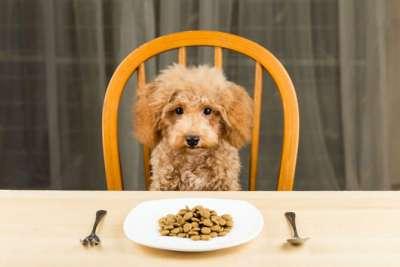 Chó bỏ ăn mệt mỏi nguyên nhân là do đâu?