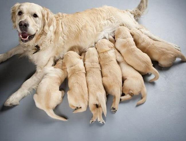 Chó mẹ ăn gì để có nhiều sữa?