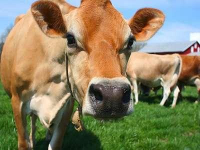 TOP 5 giống bò thịt tốt nhất hiện nay tại Việt Nam 2020