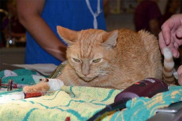 Chú mèo được cứu sống khi được truyền máu của chú chó