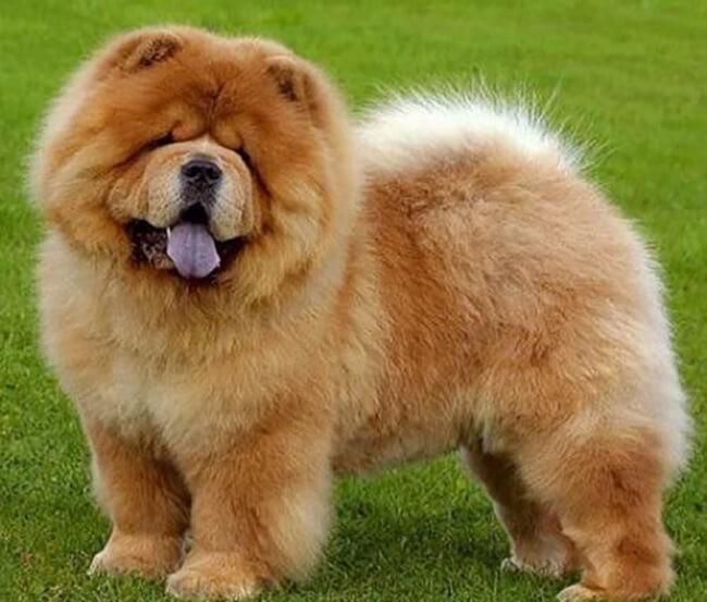 Chow chow là một trong các giống chó đẹp dễ nuôi