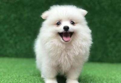 TOP 10 các giống chó đẹp ở Việt Nam và trên thế giới