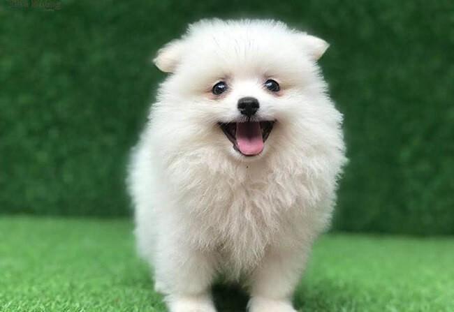 Giống chó phốc sóc được ưa chuộng và nằm trong các giống chó đẹp ở Việt Nam