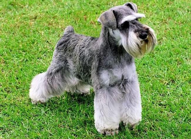 Miniature schnauzer là một trong các giống chó đẹp và khôn