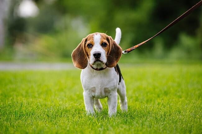 Chó Beagle cùng thuộc các giống chó đẹp và khôn