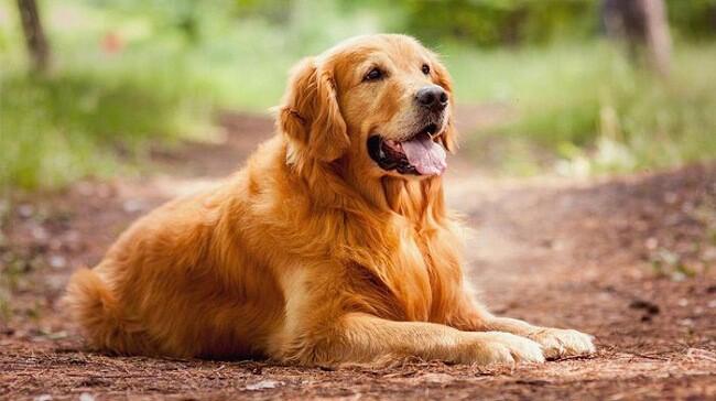 Chó Golden nằm trong top các giống chó đẹp nhất thế giới