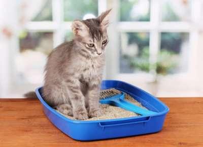 Cách dạy mèo đi vệ sinh đúng chỗ cho người mới nuôi