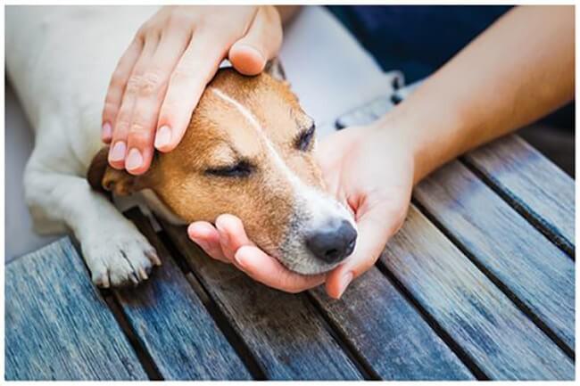 Cần đưa chó đến bác sĩ thú y để được điều trị kịp thời