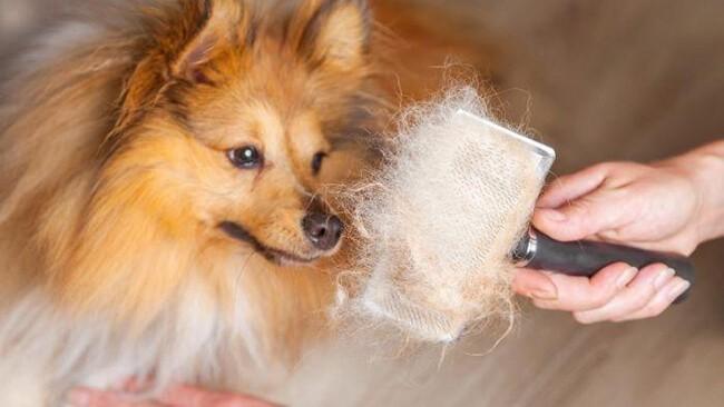 Chó bị rụng lông phải làm sao