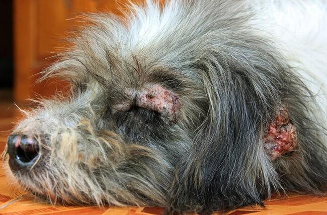 Chó bị rụng lông và nổi mẩn đỏ