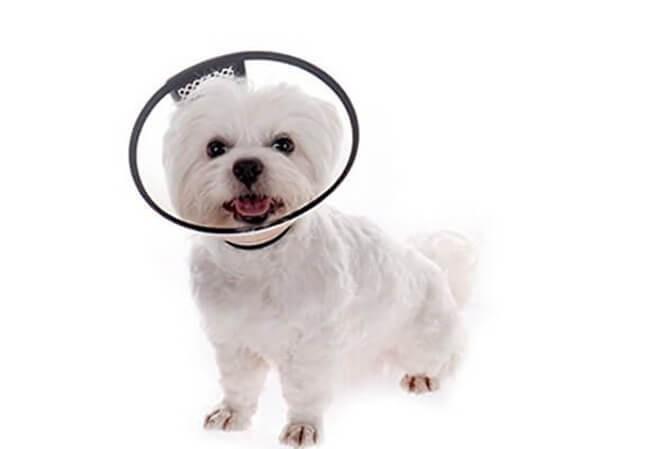 Đeo loa cổ cho chó trong quá trình điều trị chó bị rụng lông