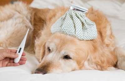 Hiện tượng chó bị sốt và cách chữa trị hiệu quả