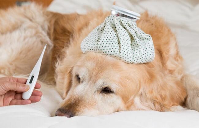 Đo nhiệt độ cơ thể cho chó khi bị sốt