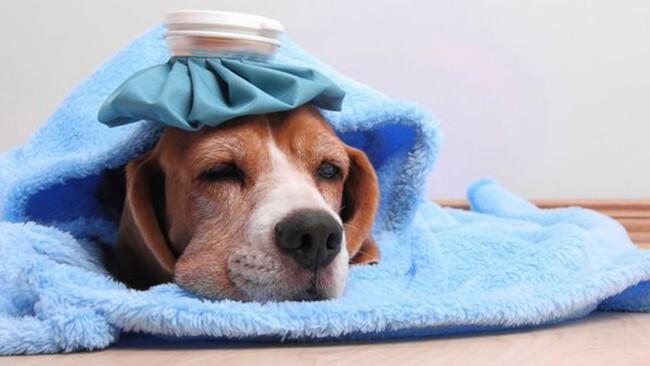 Chó bị sốt và bỏ ăn