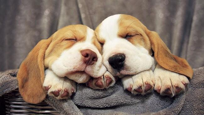 Chó ngủ nhiều để nạp thêm năng lượng