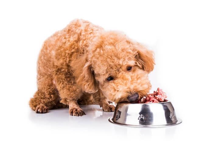 Chó Poodle ăn gì tốt nhất, khỏe mạnh