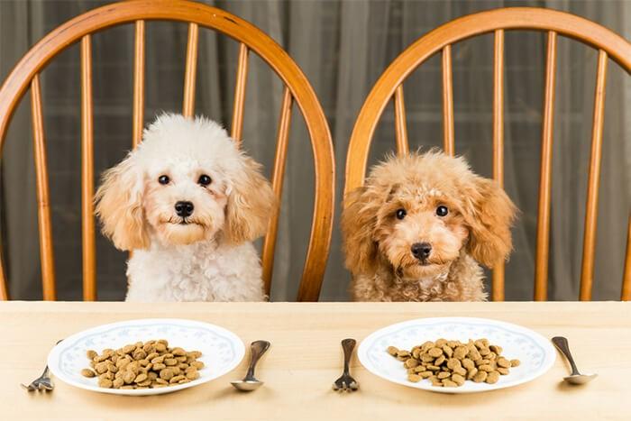 Chó poodle ăn gì cần đúng giờ với lượng vừa đủ
