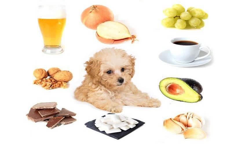 Hình ảnh giải đáp không nên cho chó Poodle ăn gì?