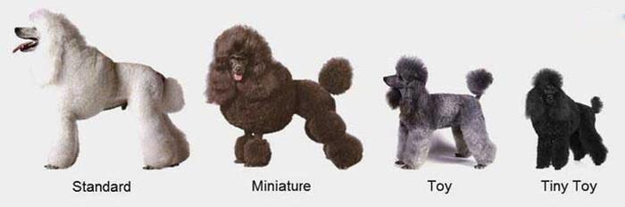 Hình ảnh chóToy Poodle,Tiny Poodle,Miniature Poodle,Standard Poodle