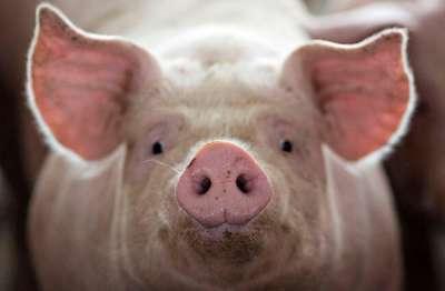 Tổng quan về bệnh tai xanh ở lợn: nguyên nhân, triệu chứng và cách phòng trị