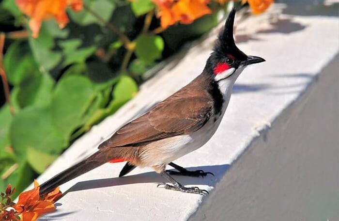 Tìm hiểu về đặc điểm của chim chào mào