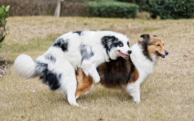 Chó giao phối là một trong nguyên nhân dẫn đến bệnh viêm tử cung