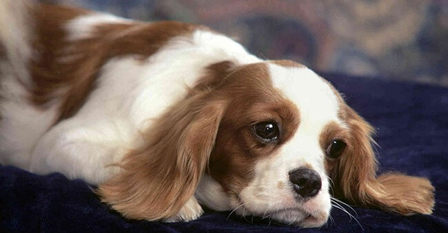 Chó có thể bị vô sinh khi bị bệnh viêm tử cung