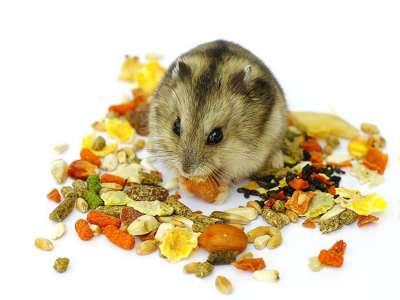 Chuột Hamster ăn gì cho mập và khỏe mạnh?
