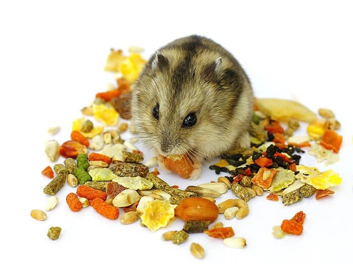 Cho chuột hamster ăn gì tốt?
