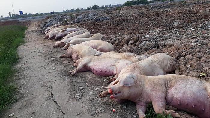 Dịch tả lợn châu phi đã chấm dứt chưa