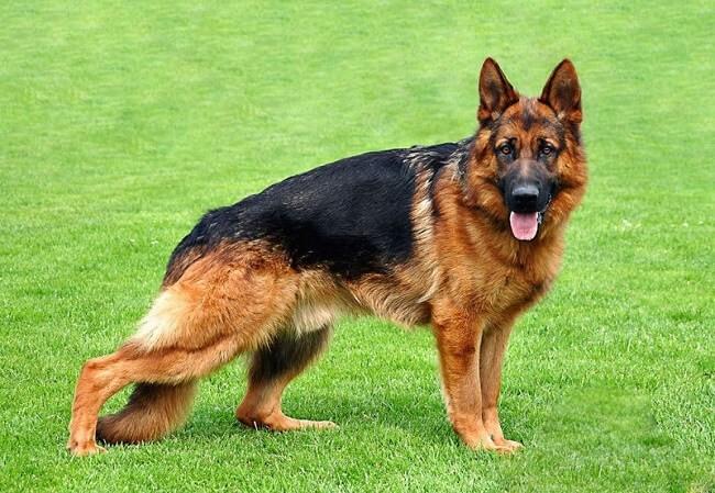 Giống chóBecgie nằm trong những loài chó trung thành nhất hiện nay
