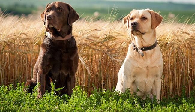 Labrador rất trung thành với cặp mũi siêu thính