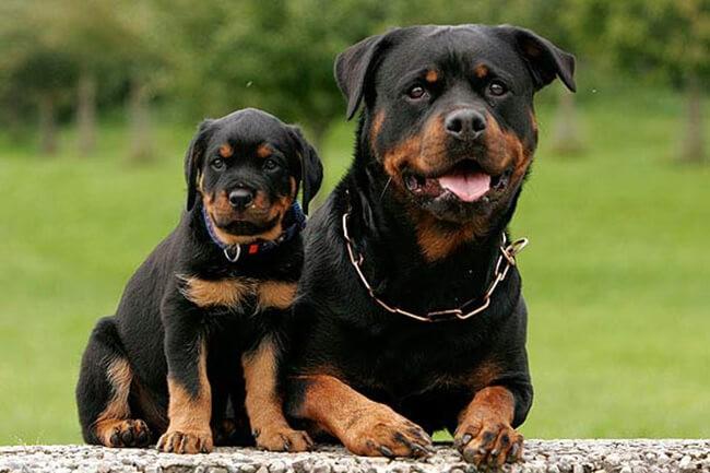 Rottweiler điềm đạm và cực kỳ can đảm