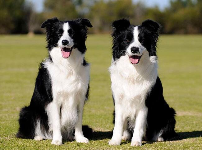 một trong những loài chó trung thành nhất thế giới