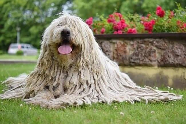 Chó chăn cừuKomondor