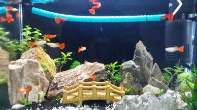 Cá bảy màu ăn gì để mau lớn và lên màu đẹp?