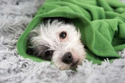 Cách điều trị chó bị cảm lạnh bỏ ăn ngay tại nhà