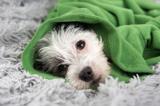 Triệu chứng chó bị cảm lạnh mệt mỏi, ủ rũ